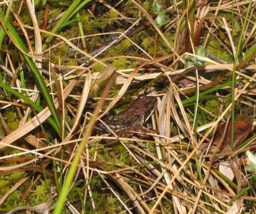 001Amphibians-grass frog
