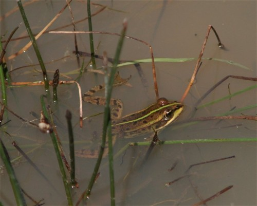 002Amphibians-edible frog