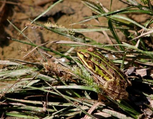 003Amphibians-edible frog