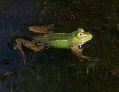 006Amphibians-edible frog