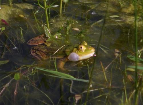 007Amphibians-edible frog