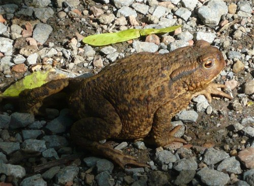 012Amphibians-common toad