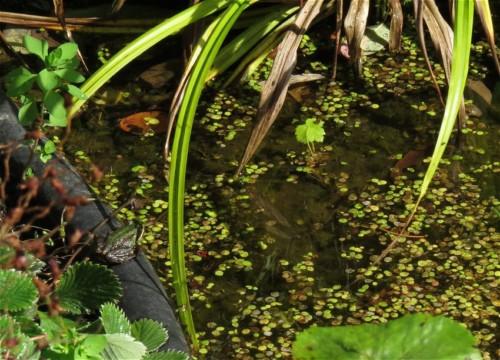 016Amphibians-pool frog