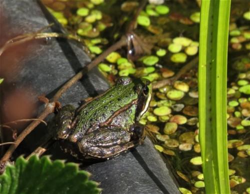 017Amphibians-pool frog
