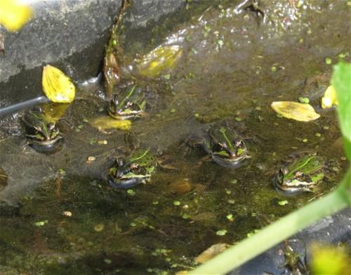 020Amphibians-pool frog
