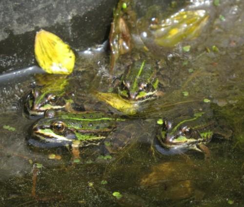 021Amphibians-pool frog