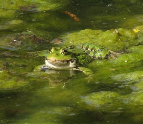 Wasserfrosch08