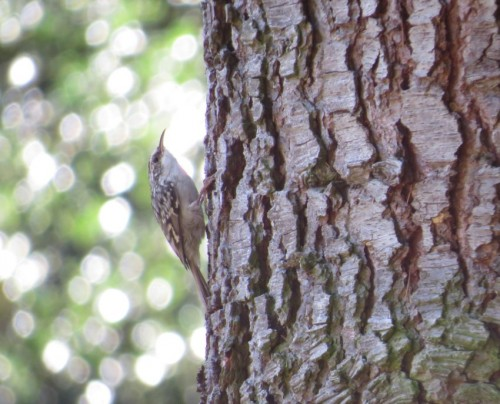 Short-toedTreecreeper001