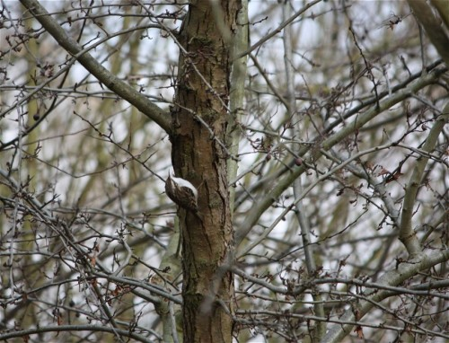 Short-toedTreecreeper002
