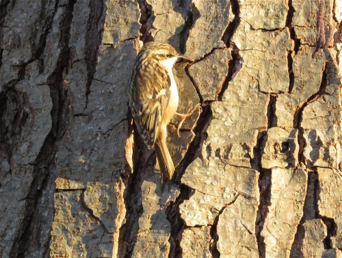 Short-toedTreecreeper003