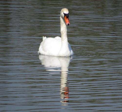 Swan002