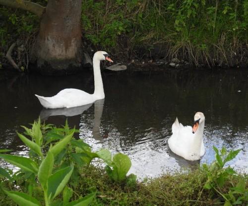 Swan003