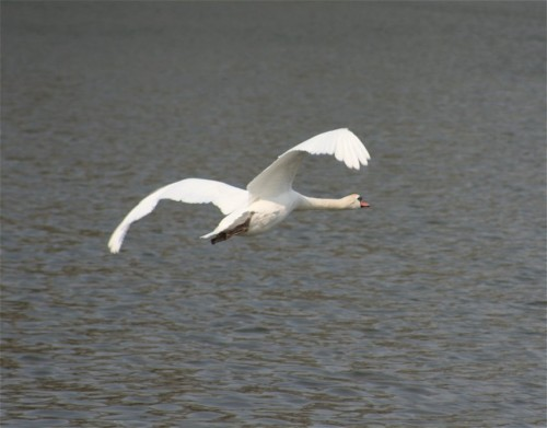 Swan005