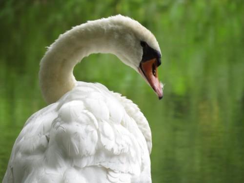 Swan007