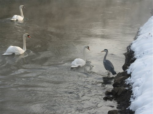 Swan008
