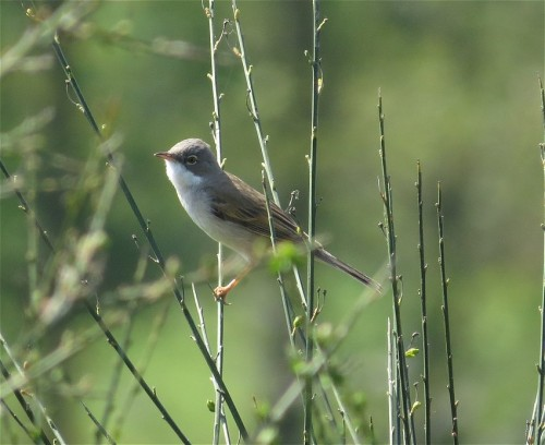 Whitethroat001