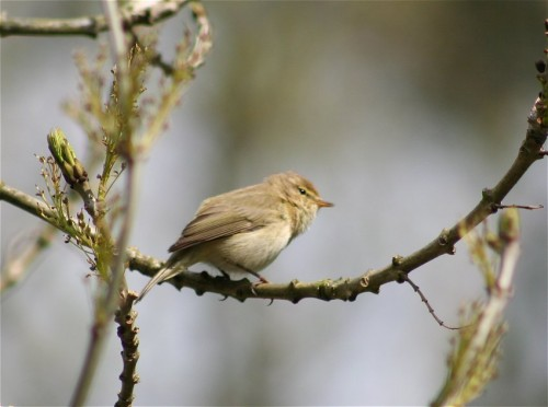 WillowWarbler001