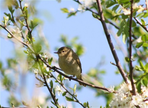 WillowWarbler002
