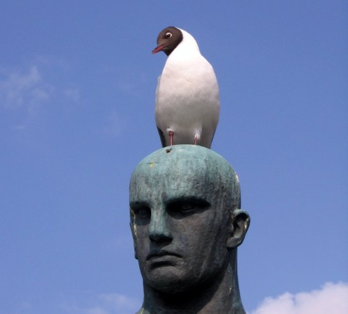 Black-headedGull001