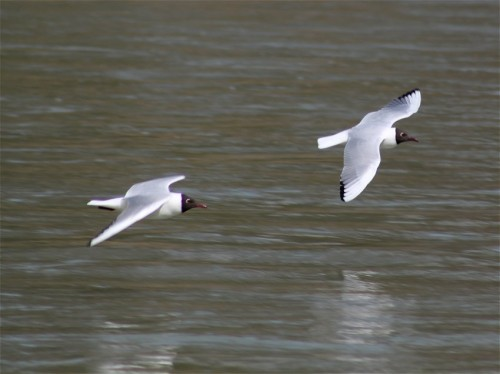Black-headedGull002