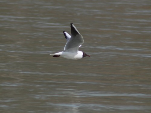 Black-headedGull003