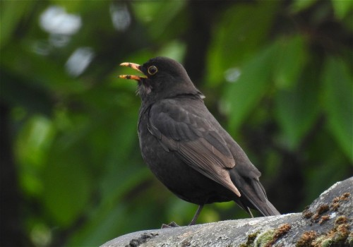 Blackbird001