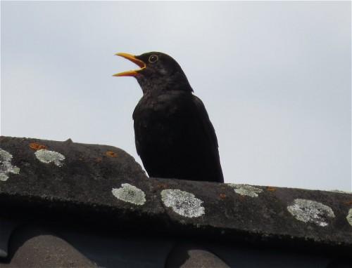 Blackbird002