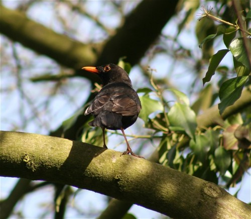 Blackbird003