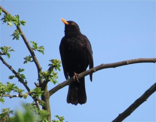Blackbird006