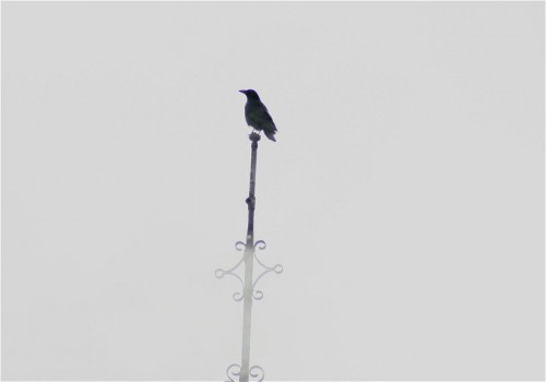 CarrionCrow001
