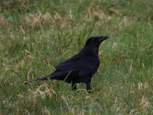 CarrionCrow004