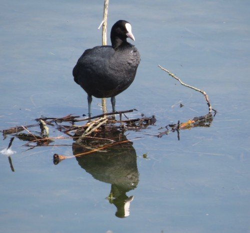 CommonMoorhen002