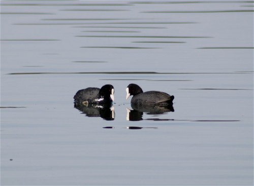 CommonMoorhen003