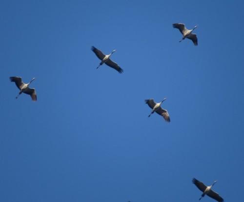 Crane017