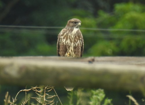 commonBuzzard007