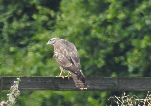 commonBuzzard008
