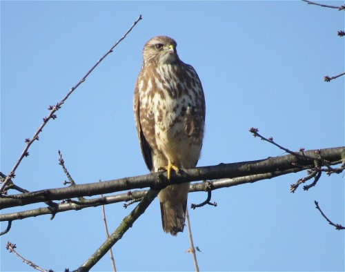 commonBuzzard011