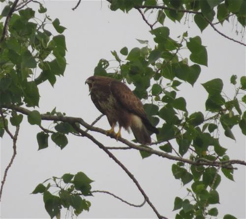 commonBuzzard013