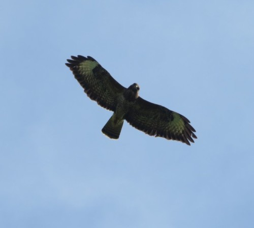 commonBuzzard014