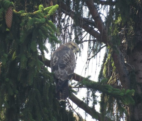 commonBuzzard015
