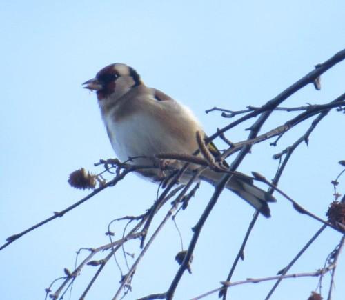 Goldfinch007