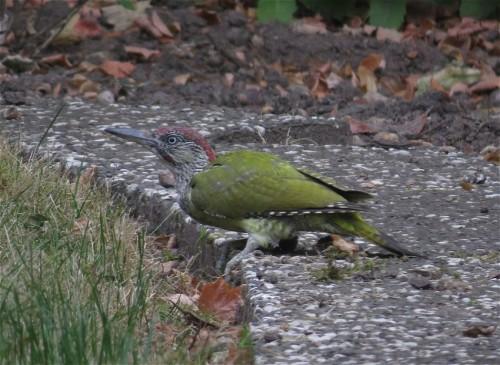 GreenWoodpecker002