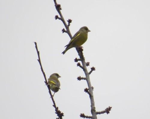 Greenfinch003