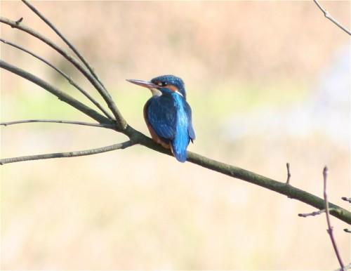 Kingfisher003