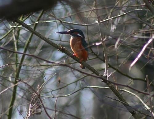 Kingfisher004