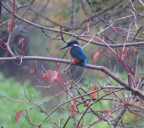 Kingfisher007