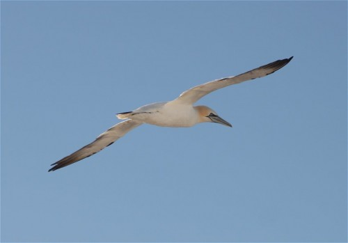 NorthernGannet006