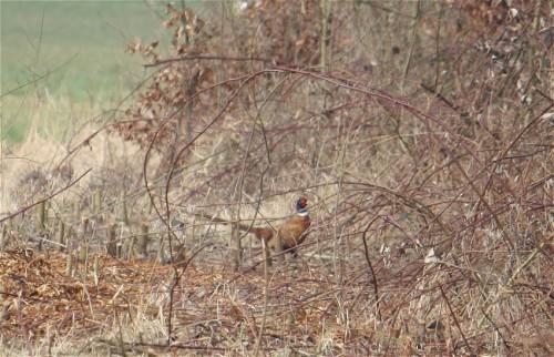 Pheasant001