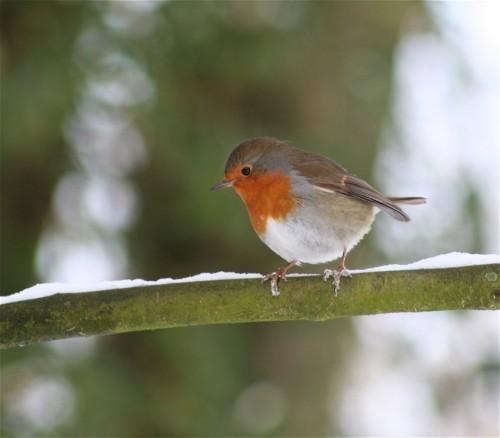 Robin005