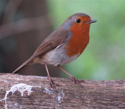Robin008
